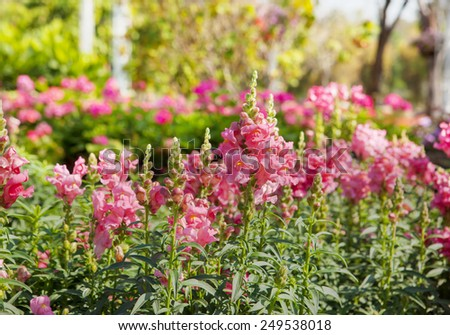 pink snapdragons in garden - stock photo