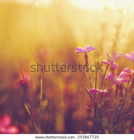 pink soft meadow flowers on yellow natural background. Sunny autumn field - stock photo