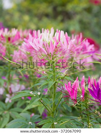Pink spider flower(Cleome hassleriana) in the garden - stock photo