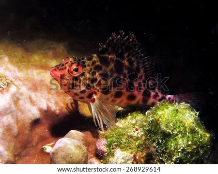 Pink spotted coral hawkfish in a crevice - stock photo