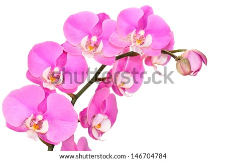 Pink, spotted orchid branches with buds, white isolated
