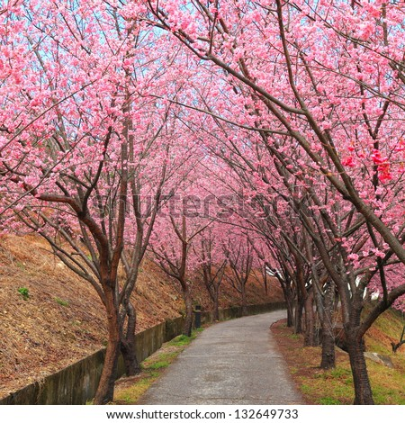 pink spring cherry blossom trees along the pathway