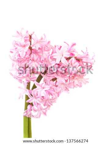 pink spring flowers isolated on white - stock photo