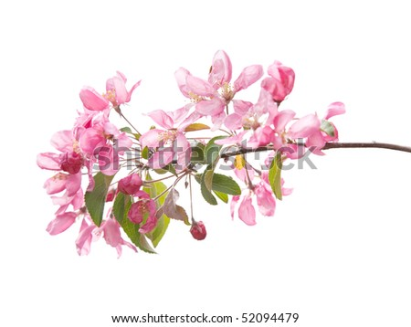pink spring prunus blossoms isolated on white