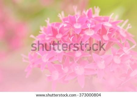 Pink Star Cluster flowers blooming (Pentas lanceolata), Macro - stock photo
