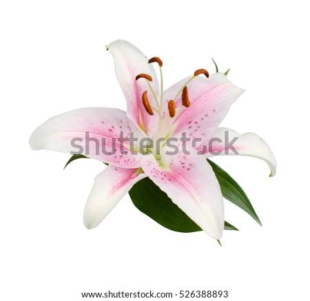 Pink stargazer lily on white stock photo edit now 526388893 pink stargazer lily on white mightylinksfo