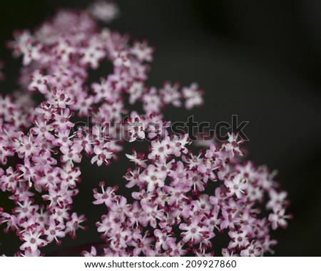Pink stonecrop or sedum flower cluster with dark space - stock photo