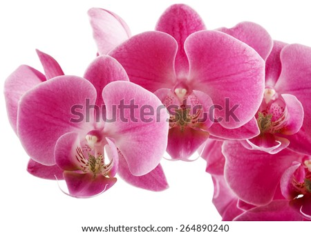 Pink streaked orchid flower, isolated - stock photo