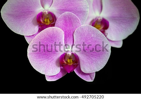 Pink streaked orchid flower, isolated on black