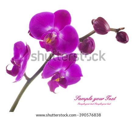 Pink streaked orchid flower, isolated (selective focus) - stock photo