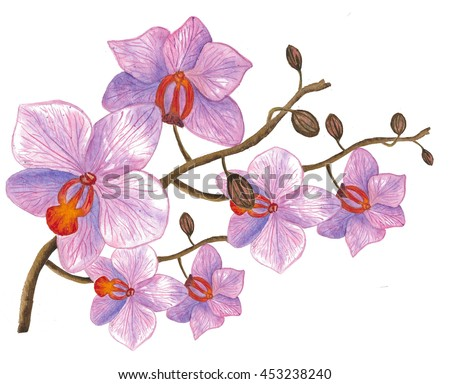 Pink streaked orchid flower, isolated. Watercolor hand drawn composition. Illustration - stock photo
