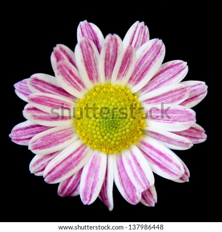 Pink Striped Daisy - stock photo