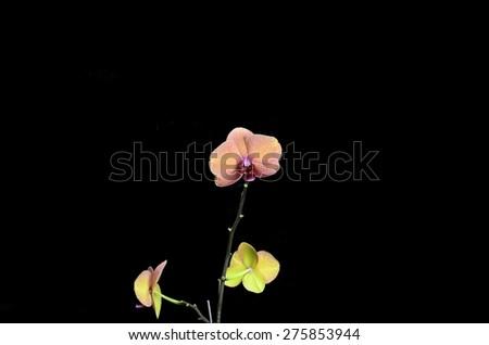 Pink stripy backlit phalaenopsis orchid isolated on black - stock photo