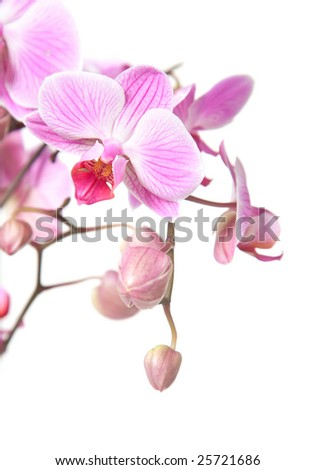 pink stripy phalaenopsis orchid isolated on white, focus on the flower - stock photo