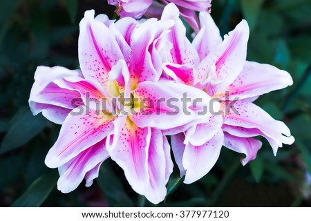Pink tiger lily flower in bloom in the garden with blurred background - stock photo