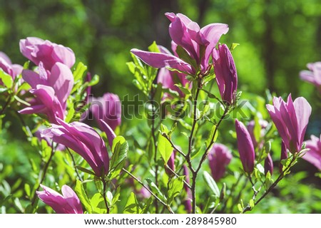 Pink tree flowers of magnolia tree - stock photo