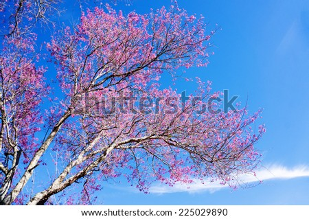 Pink trees in bloom. Spring apricot blossoms. Art Background , Branch with pink blossoms ,wallpaper. apricot-tree flowers. Da Lat, Vietnam. - stock photo