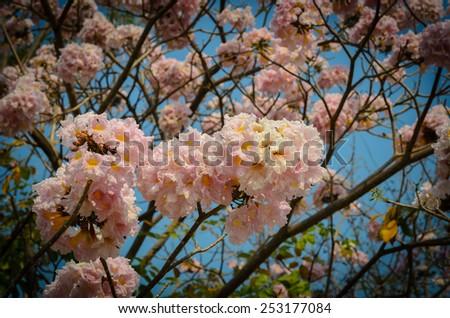 Pink trumpet flower ,Thailand - stock photo