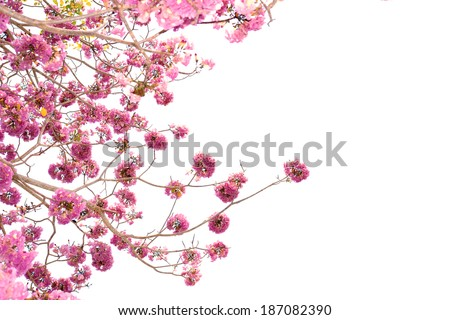 Pink trumpet tree flower blooming - stock photo