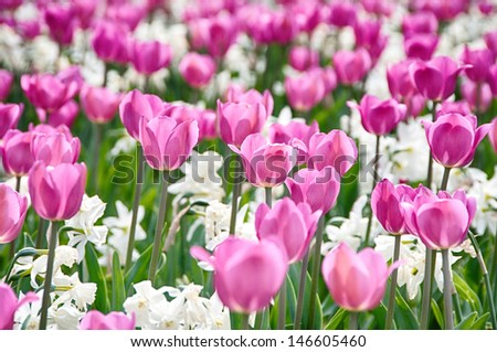 Pink tulip and white narcissus flowers in the garden