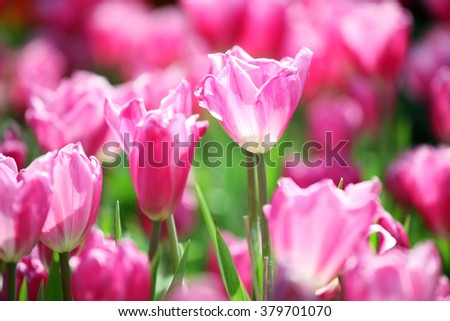 pink tulip flower as background.