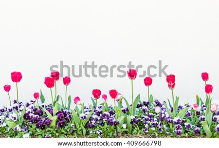 Pink tulip flowers growing in front of white stone wall. View with copy space