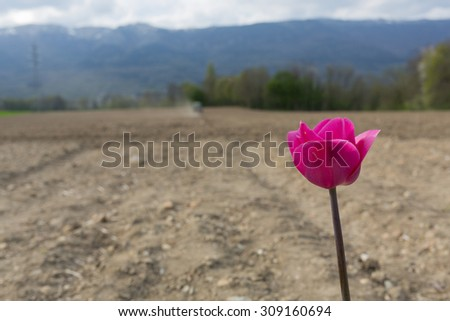 Pink tulip in a field in the garden - stock photo