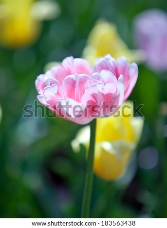 Pink tulip in the foreground and yellow on a background out of focus - stock photo