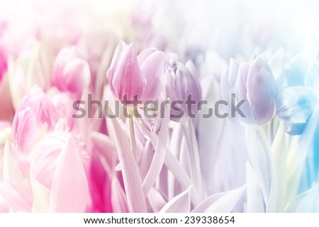 Pink tulip on blur background - stock photo