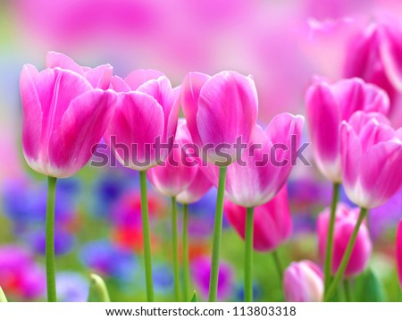 pink tulip with bokeh - stock photo