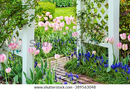 pink tulips and grape hyacinths in spring garden with white wooden trellis and brick walkway