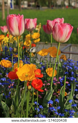 pink tulips and yellow poppies with multicolored garden flowers, selective focus,vertical image - stock photo