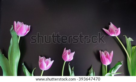 Pink tulips black background in spring - stock photo
