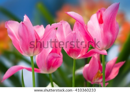 Pink tulips in a spring sunny greenhouse