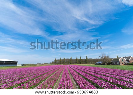 Pink tulips in Lisse, The Netherlands