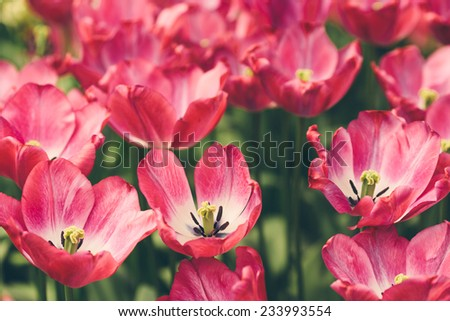 Pink tulips in park, in Spring. - stock photo
