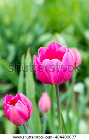 Pink tulips in shallow depth of field.