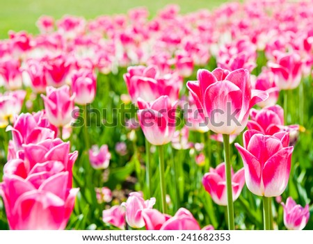 pink tulips in sunny spring day