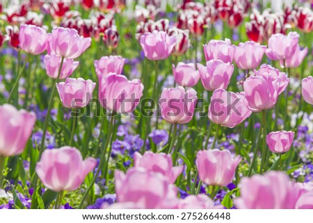 pink tulips in sunshine