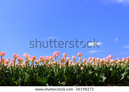 Pink tulips in the fields in Holland