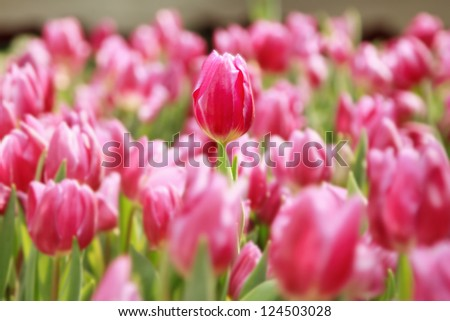 pink tulips in the garden - stock photo
