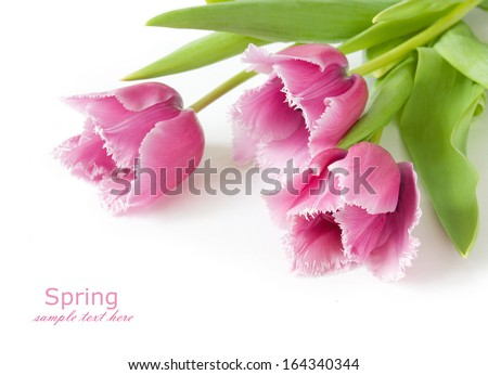 Pink tulips isolated on white background with sample text