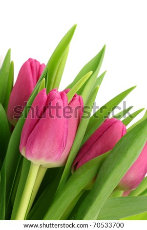 pink tulips on a white background