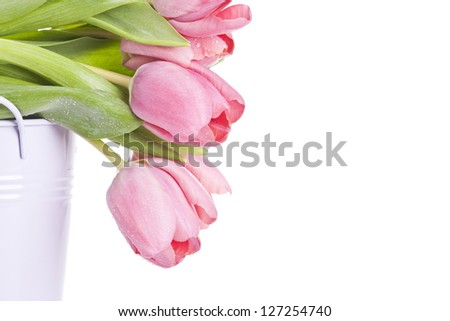 Pink tulips on white background - stock photo