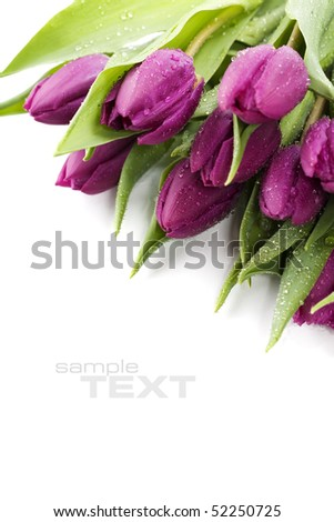 Pink tulips with water droplets on white background. With sample text.. - stock photo