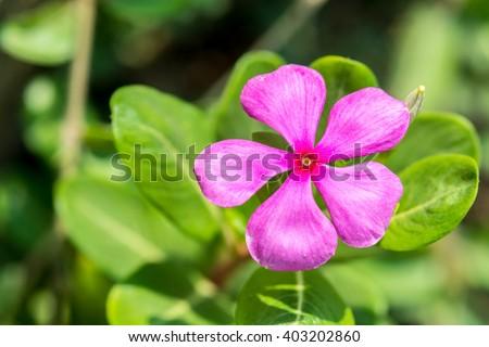 pink vinca flowers(madagascar periwinkle)  - stock photo