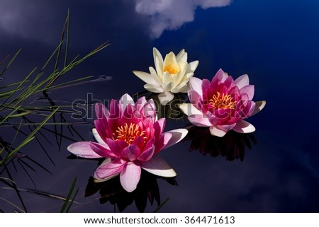 pink water-lilies