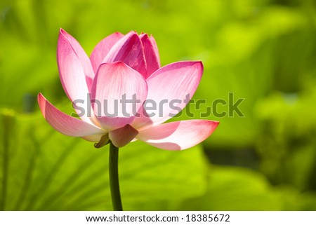 pink water lilly flower on green with shallow depth of field