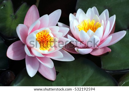 Pink water lily aka lotus flower blooming in clear water lake summer time