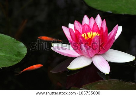 Pink Water Lily and Gold Fish - stock photo